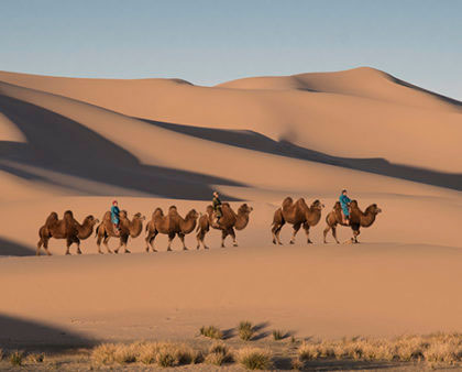 morning camel caravan in gobi desert